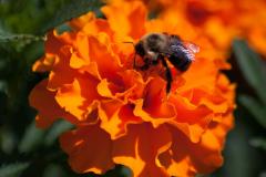 Bee_on_Orange_Flower